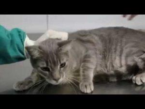Gatos e Esporotricose